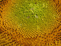 Core of the sunflower color Royalty Free Stock Photography