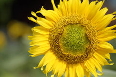 Core of sunflower Royalty Free Stock Photos