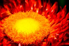 Core of a sunflower ornge and yellow colour super macro. In day time Stock Image