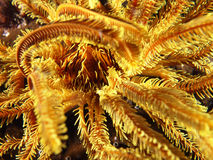 Core of yellow coral with yellow whip coral shrimp royalty free stock photo