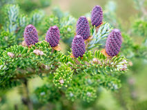 Corean fir - Abies koreana Select. Cones and branches. Stock Images