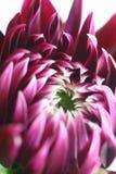 Coreanum del crisantemo del fiore Immagini Stock