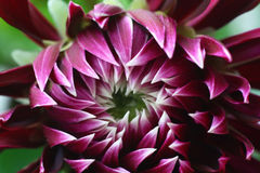 Coreanum del crisantemo del fiore Fotografie Stock Libere da Diritti