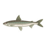 Coregonus albula vendance cisco fish Stock Image