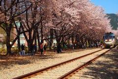 Coreia Sakura bonito no estação de caminhos-de-ferro Fotografia de Stock