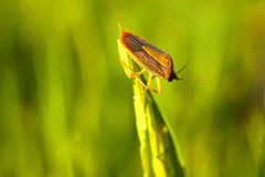 Coreid bug caught the ears of rice Royalty Free Stock Photo
