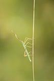 Coreid bug Stock Photo