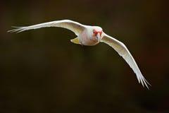 Corella Longo-faturado, tenuirostris do Cacatua, papagaio exótico branco de voo, pássaro no habitat da natureza, cena da ação de  Fotografia de Stock Royalty Free