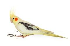 Corella papuga z słonecznikowymi ziarnami Fotografia Royalty Free