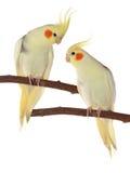 Corella papugi siedzi na gałąź Obrazy Stock