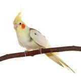 Corella papuzi obsiadanie na gałąź Fotografia Stock