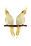 Corella papuzi obsiadanie na gałąź Obrazy Royalty Free