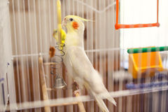 Corella parrot in a cage Royalty Free Stock Photos