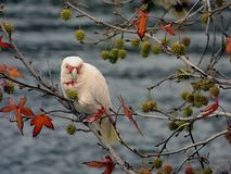Corella Parrot Eating Seed Pods stock foto