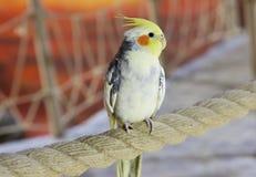 Corella Parrot Royalty Free Stock Photos