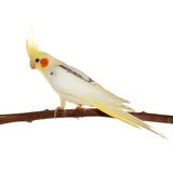 Corella parrot sitting on the branch Stock Image