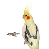 Corella parrot with sunflower seeds Royalty Free Stock Photo