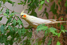 Corella parrot Royalty Free Stock Photography