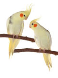 Corella parrots sitting on the branch Stock Images