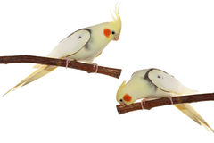 Corella parrots sitting on the branch Royalty Free Stock Photos