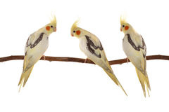 Corella parrots sitting on the branch Royalty Free Stock Images
