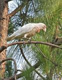 Corella on pine tree Royalty Free Stock Photography