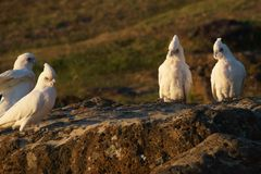Corella's perched on a rock. Royalty Free Stock Images