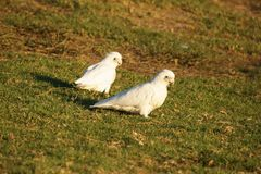 Corella's sitting on grass. Royalty Free Stock Images