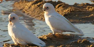 Corella's on water edge Royalty Free Stock Images