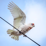 Corella with Wing Outstretched on Wire Stock Image