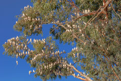 Corellas nest in a tree in outback Australia. Royalty Free Stock Photos