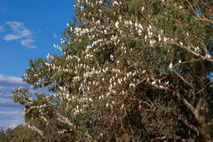Corellas nest in a tree in outback Australia. Stock Photo
