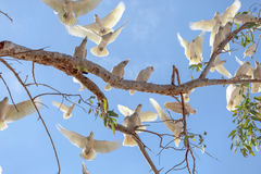 Corellas take flight in outback Australia. Stock Photos