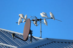 Corellas on TV Antenna Stock Photos