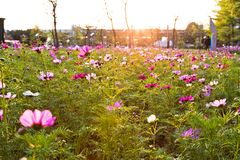 Coreopsis λουλουδιών που ανθίζει στο πάρκο πόλεων στοκ φωτογραφία με δικαίωμα ελεύθερης χρήσης