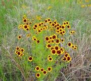 Coreopsis равнин родной wildflower Стоковое Изображение RF