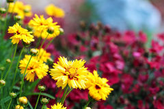 Coreopsis Stock Images