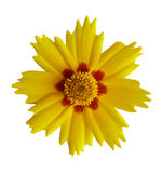 Coreopsis Royalty-vrije Stock Afbeelding