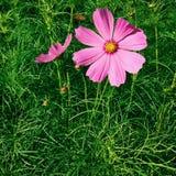 Coreopsis Obraz Royalty Free