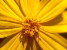 Coreopsis Royalty-vrije Stock Afbeeldingen