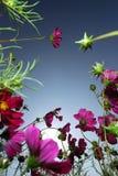 coreopsis Стоковое Изображение RF