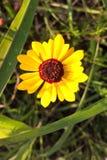 Coreopsis Στοκ Φωτογραφίες
