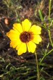 Coreopsis Στοκ Φωτογραφία
