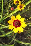 Coreopsis. Also known as Tickseed. Showy, yellow and red flowers with a toothed tip. They can be found in the wild growing along roadsides and open fields. They Royalty Free Stock Images