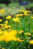 Coreopsis amarelo em um jardim Fotos de Stock Royalty Free