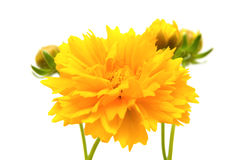 Coreopsis amarillo-naranja Foto de archivo libre de regalías