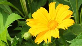 Coreopsis Auriculata Lobed tickseed zdjęcia stock
