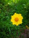 Coreopsis basalis Royalty Free Stock Photos