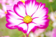 The coreopsis. A beautiful coreopsis flower of pink stock photos