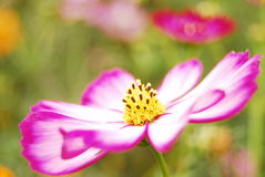 The coreopsis. A beautiful coreopsis flower of pink stock image